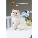 Chat Exotic Shorthair (Blanc)