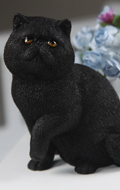 Chat Exotic Shorthair (Noir)