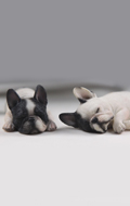 Set chiens French Bulldog (Blanc)