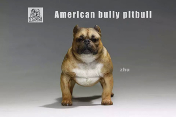 Chien American Bully Pitbull (Marron)
