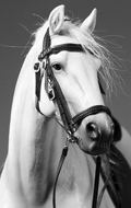 German Hanoverian Warmblood Horse (White)