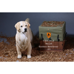 Chien Golden Retriever (Blanc)