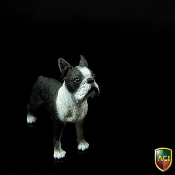 Chien Boston Terrier