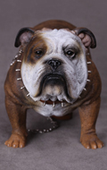 British Bulldog (Brown)