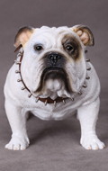 British Bulldog (White)
