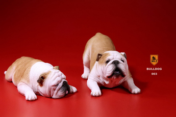 Set chiens British Bulldog (Beige)