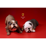 Set chiens British Bulldog (Marron)