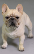 Chien French Bulldog (Beige)