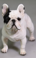 Chien French Bulldog (Blanc)