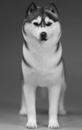 Siberian Husky Dog (Black)