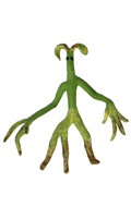 Bowtruckle (Green)