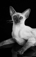 Siamese Cat (Beige)