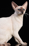 Siamese Cat (White)