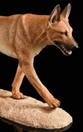 The Loyal Warrior - Chien The Fighting Spirit Malinois (Beige)