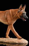 The Loyal Warrior - Chien The Fighting Spirit Malinois (Marron)