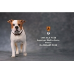 American Staffordshire Terrier Dog (Beige)