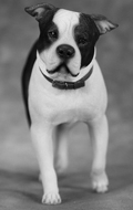 American Staffordshire Terrier Dog (Black)