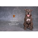 American Staffordshire Terrier Dog (Brown)