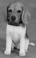 Beagle Puppy Dog (Beige)