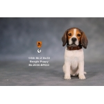 Beagle Puppy Dog (Brown)