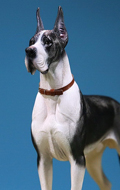 German Great Dane Dog (Black)