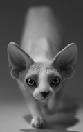 Chat Sphynx (Gris)