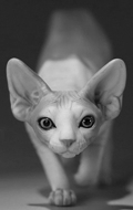 Canadian Hairless Sphynx Cat (Beige)