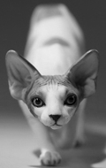 Canadian Hairless Sphynx Cat (White)