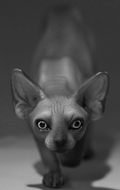 Canadian Hairless Sphynx Cat (Black)