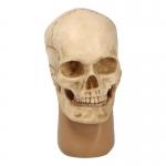 Skull Headsculpt (Beige)